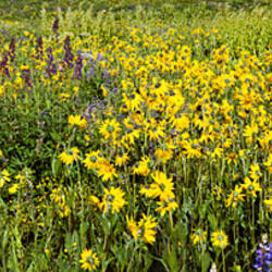 Wildflowers in a field, Crested Butte, Gunnison County, Colorado, USA