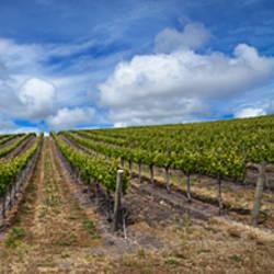 Vines in a vineyard, San Luis Obispo, San Luis Obispo County, California, USA