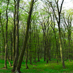 Forest, Vlad Tepes, Sighisoara, Mures County, Romania