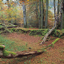 Fallen tree in the autumn, Fernworthy Reservoir, Dartmoor, Devon, England