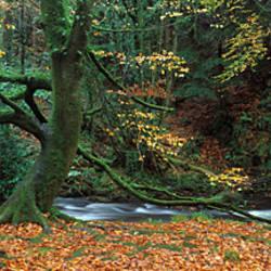 Tree at the riverside, River Erme, Dartmoor, Devon, England
