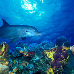 Bottle-Nosed dolphin (Tursiops truncatus) and Gray angelfish (Pomacanthus arcuatus) on coral reef in the sea
