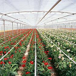 Daisy flowers in a greenhouse, Carpinteria, Santa Barbara County, California, USA