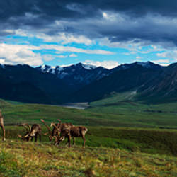 Mountain scene with herd of caribou on tundra, Denali National Park, Alaska, USA.