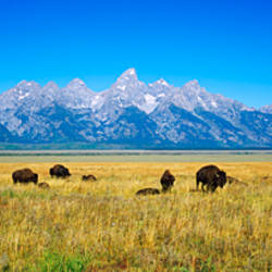 Field of Bison with mountains in background, Grand Teton National Park, Wyoming, USA