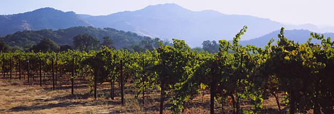 Grape vines in a vineyard, Napa Valley, Napa County, California, USA