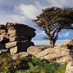 Tree near rocks, Haytor Rocks, Dartmoor, Devon, England