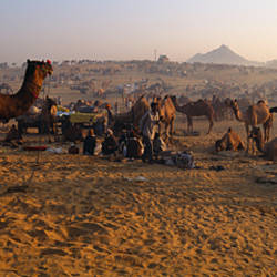 Camels in a fair, Pushkar Camel Fair, Pushkar, Rajasthan, India
