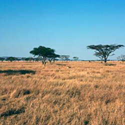 Trees on a landscape, Serengeti National Park, Tanzania
