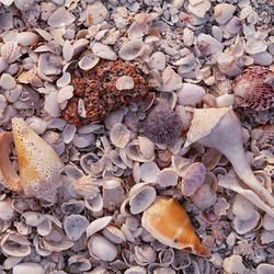 USA, Florida, Sanibel Island, Gulf of Mexico, Sea shell on the beach