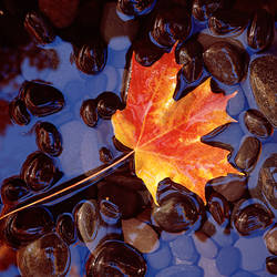 Close-up of a maple leaf in the water