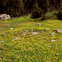 Glacier lilies on a field, North Folk Cascade Canyon, Grand Teton National Park, Wyoming, USA