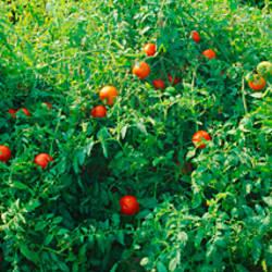 Tomato plants in a field