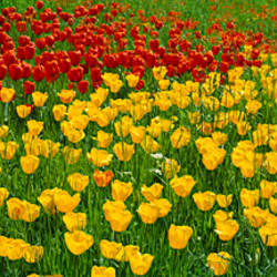 Tulip flowers growing in a field, Lake Constance, Germany