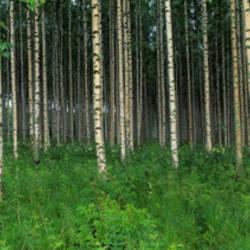 Birch Forest, Punkaharju, Finland