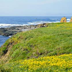 Wildflowers on a cliff near an ocean, Marin Headlands, Westport, California, USA