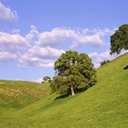 Trees on a hill, Priest Valley, Monterey County, California, USA