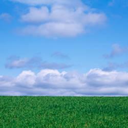Wheat crop in a field