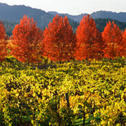 Crop in a vineyard, Napa Valley, California, USA