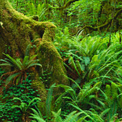 Ferns and vines along a tree with moss on it, Hoh Rainforest, Olympic National Forest, Washington State, USA