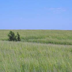 Prairie grass in a field, Iowa, USA