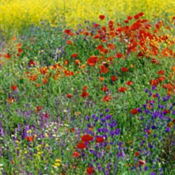 Poppies Spain