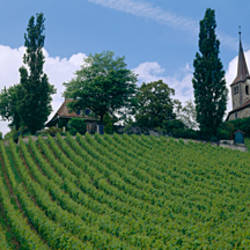 Crops in a field, Lausanne, Switzerland