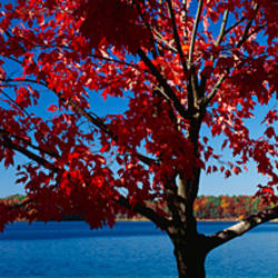 Close-up of a tree, Walden Pond, Concord, Massachusetts, USA