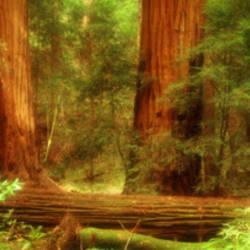 Muir Woods, Trees, National Park, Redwoods, California