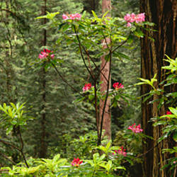 Redwood (Sequoia sempervirens) trees with pink flowers in a forest, Redwood National Park, California, USA