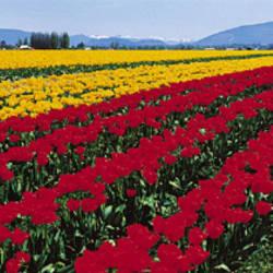 Tulip Field, Mount Vernon, Washington State, USA