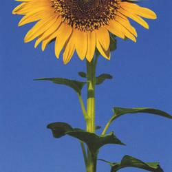 Sunflower Door Mural